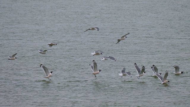 Franklin's Gulls - 2