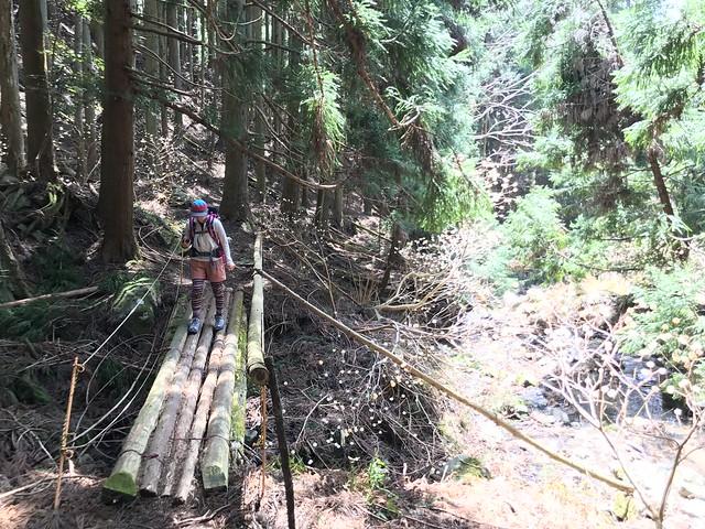 野登山 ミツマタの森 丸太橋