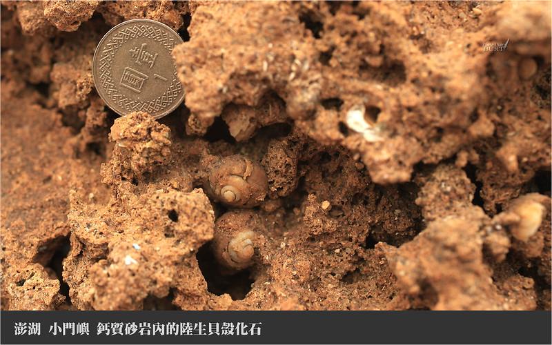 小門嶼_鈣質砂岩內的陸生貝殼化石
