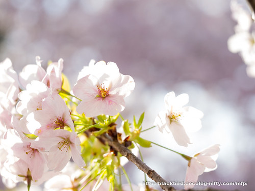 Cherry blossoms #12