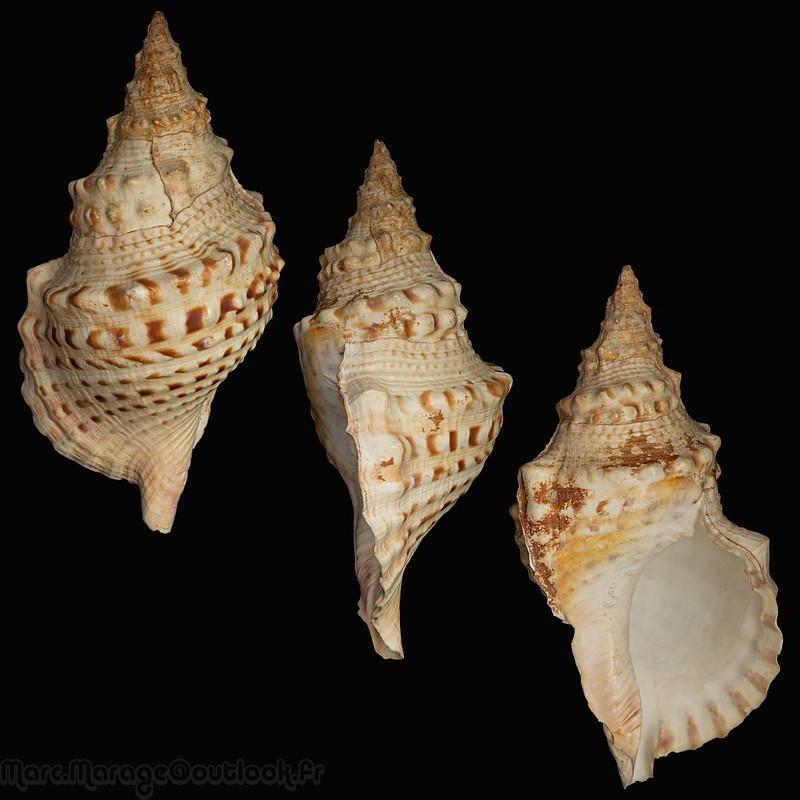 Charonia lampas - (Linnaeus, 1758) 34422608736_1658d9f7d3_c