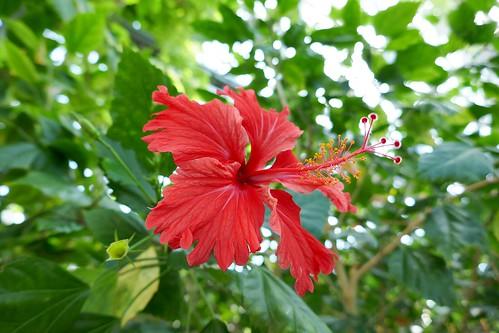"Yumenoshima Tropical Greenhouse Dome_(2017_05_05)_4_resized_1 ""夢の島熱帯植物館"" で花を撮影した写真。 赤色の5弁の花が3つ写っている。 花の中心から長い蕊が伸びている。"