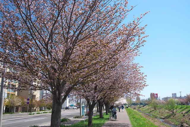 20170504新川さくら並木の桜_10