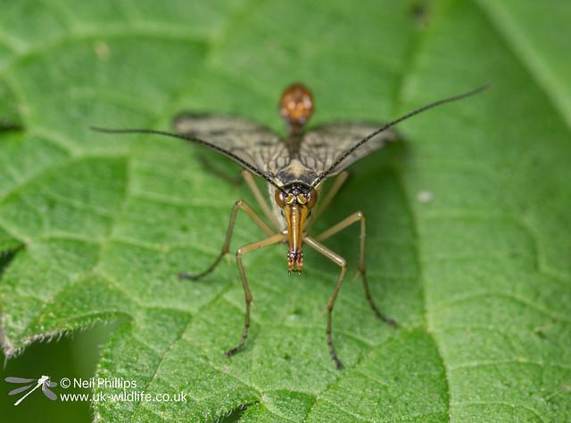 Scorpionfly-2