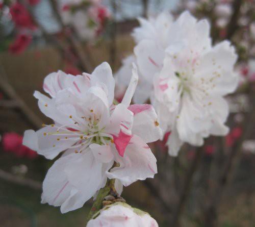 peach_white_2010