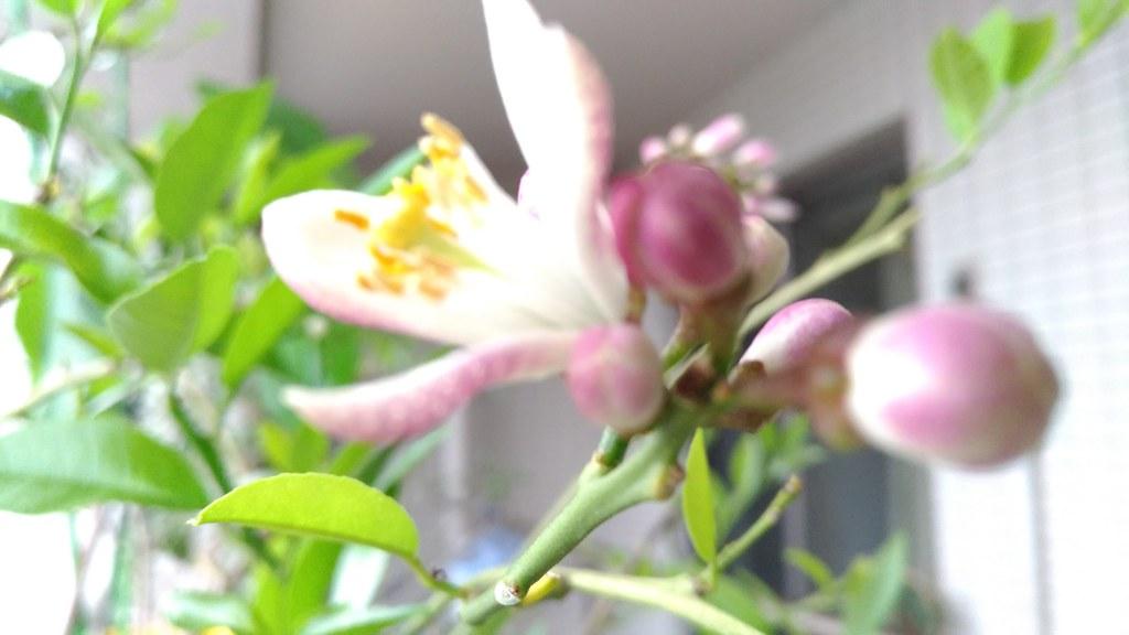 リスボンレモンの花