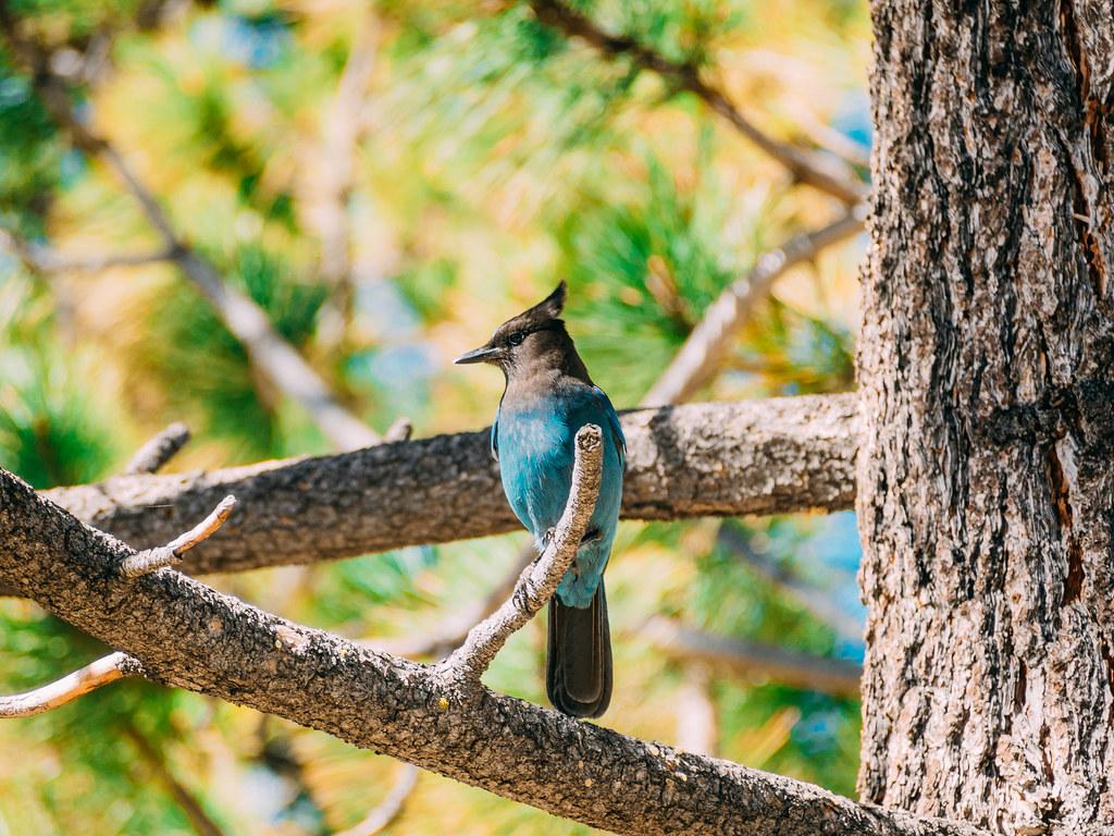 Bluebird-8