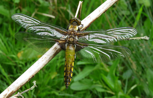 Broad-bodied Chaser Libellula depressa Tophill Low NR, East Yorkshire May 2017