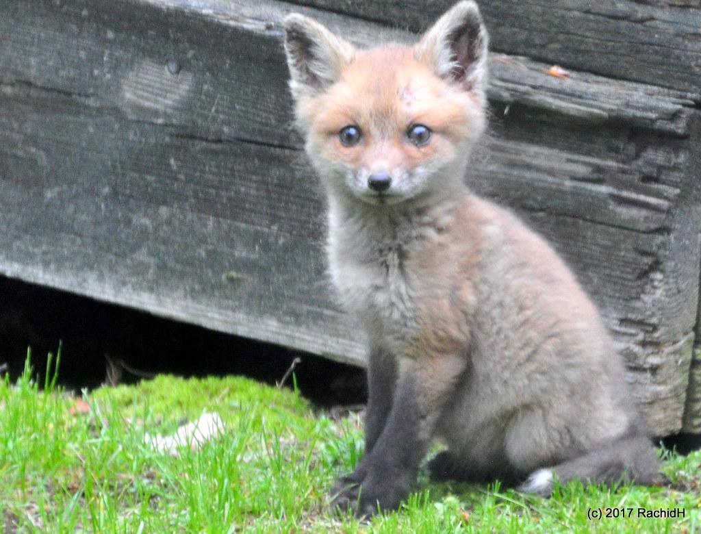 DSC_0189 | Red Fox Cub ~ Renardeau ~ in My Yard ~ Vulpes ...