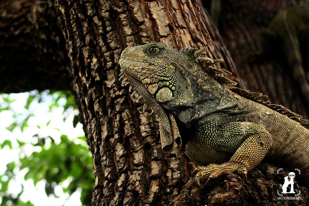 Iguanas Ecuador