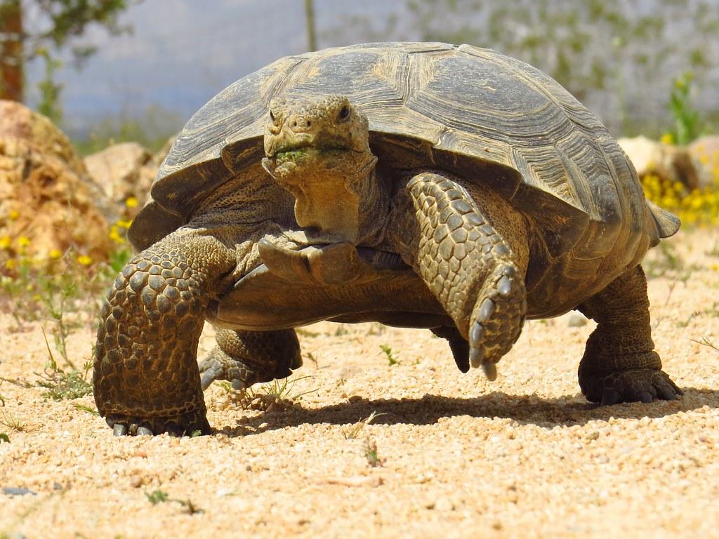 desert tortoise dtrna mojave desert 5 gary skipper flickr