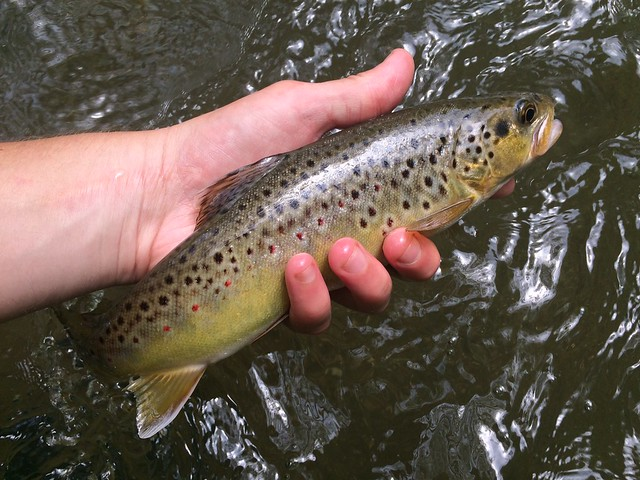 Gunpowder Wild Brown Trout