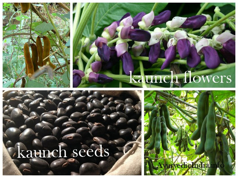 The Ancient Ayurveda Reciepe Kaunch Pak (Mucuna Pruriens) Benefits