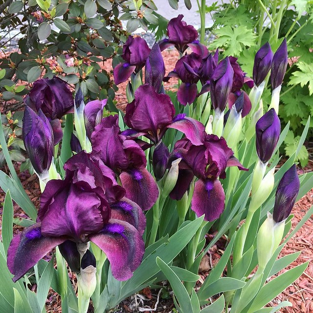 First irises to bloom. 💜 #iris