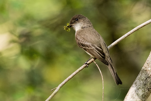 NJ: Eastern Phoebe with Green