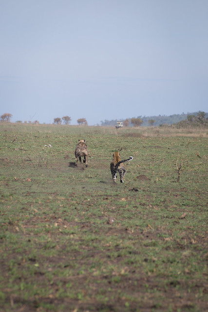 Leopard vs. Hyena