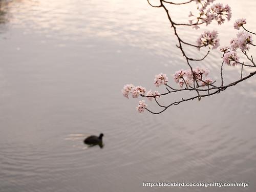 Cherry blossoms #18