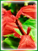 Salvia splendens (Scarlet Sage, Red Salvia, Tropical Sage)