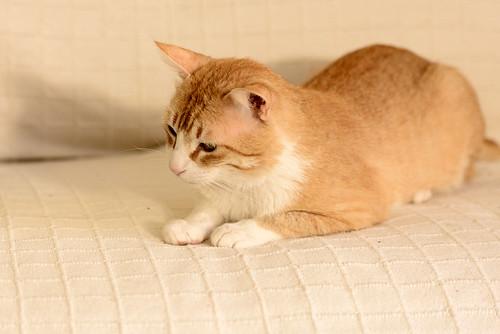 Robin, gato blanco y naranja guapo y súper dulce esterilizado, +inmunodeficiencia nacido en Marzo´15, en ADOPCIÓN ESPECIAL. Valencia. ADOPTADO. 34328278470_c0c6623058