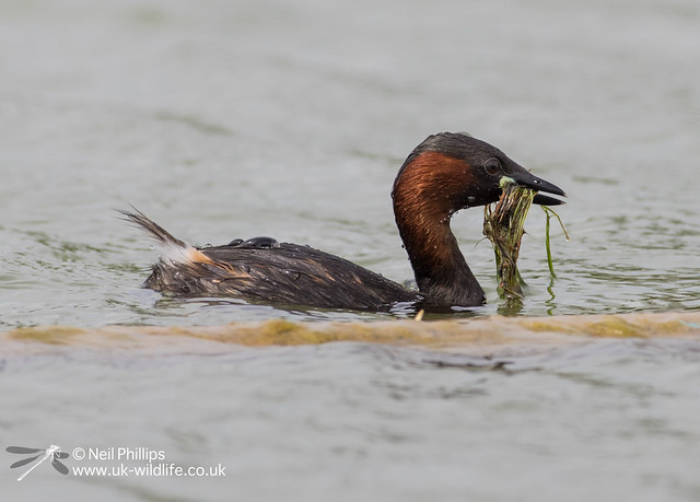 Little grebes trying to save nest-2