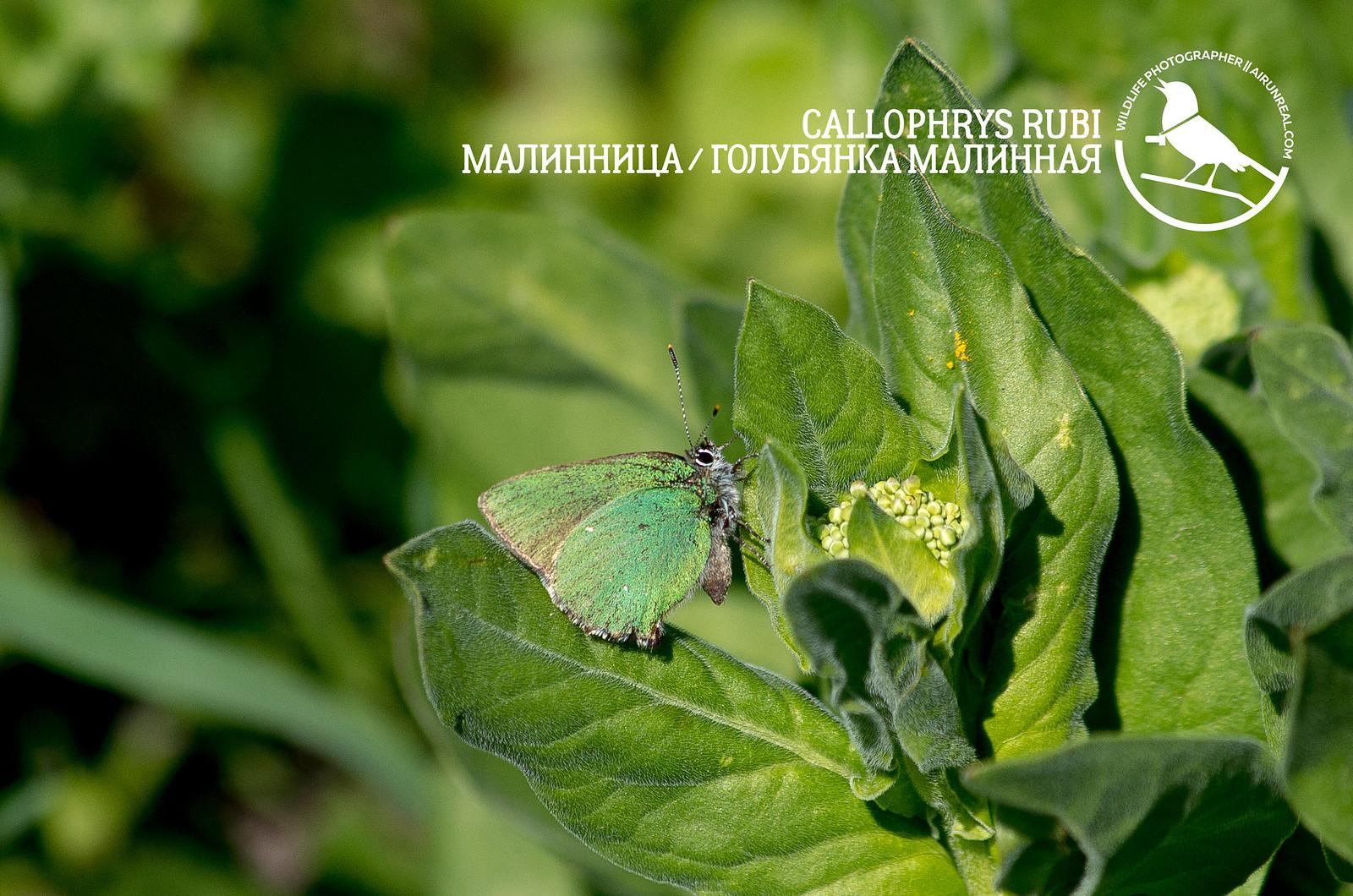 Callophrys rubi // 20170518