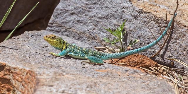 Lizard-57-7D2-050717