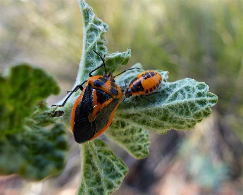 Shield Bug Adult and immature - Agonoscelis rutila