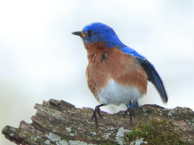 Eastern Bluebird male 4-20170503