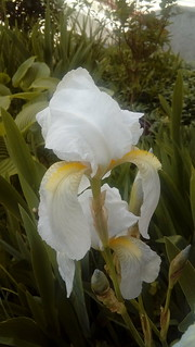 The Irises in Our Garden - White