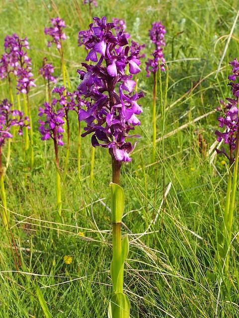 Crimean orchid - 4