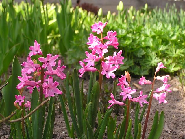 Hyacinthus orientalis 'Red Magic'