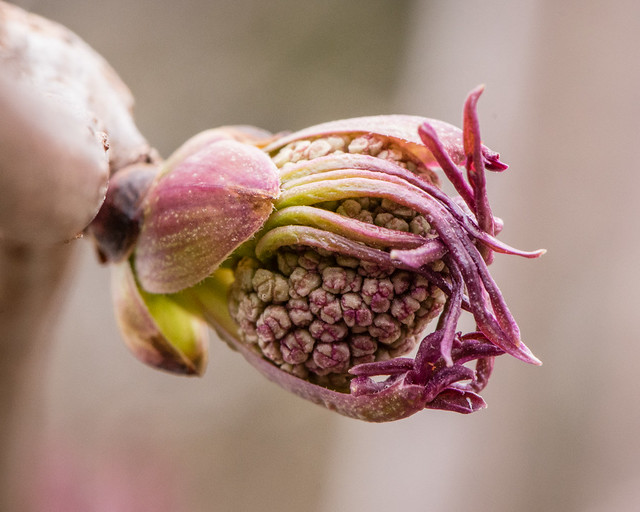 elderberry flower buds