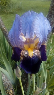 The Irises in Our Garden - Double Purple