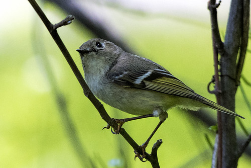 Sandy Hook: Ruby-crowned Kinglet