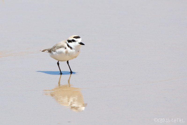 IMG_4099SnowyPlover
