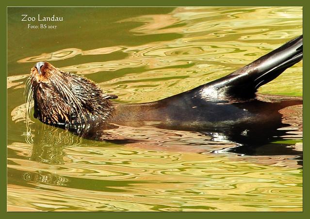 Tierfotografie im Landauer Zoo: Bei den Robben und Pinguinen ... Fotos und Collagen: Brrigitte Stolle, Mannheim