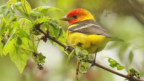 male Western Tanager | by Greatblue1