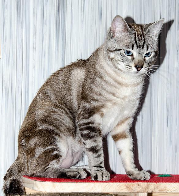 Tango, gato Siamés Tabby de colita corta esterilizado muy guapo, nacido en Enero´16, en adopción. Valencia. ADOPTADO. 34223385880_10d56e1900_z