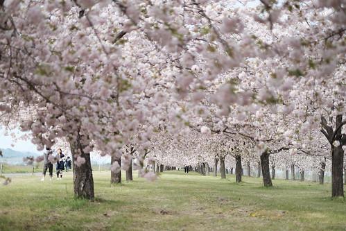 桜の花、舞い上がる道を 2017 番外編