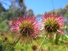 Aceana novae-zelandiae - Bidgee-widgee