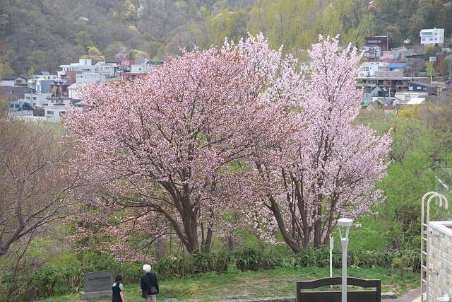 20170505旭山記念公園の桜_01