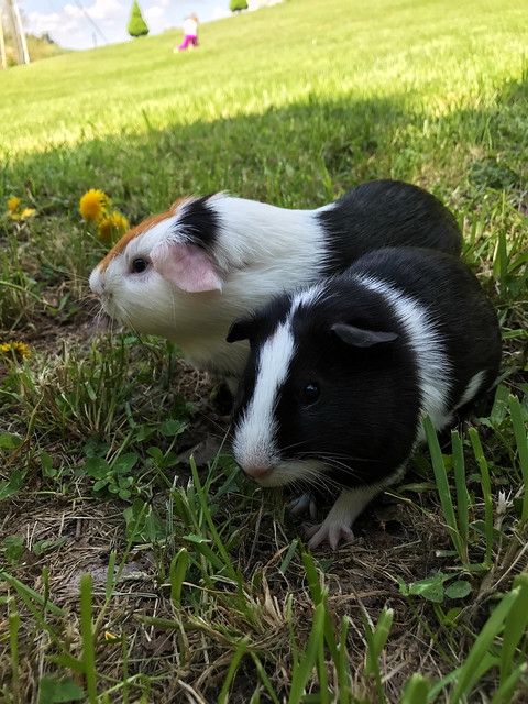 The guinea pigs!