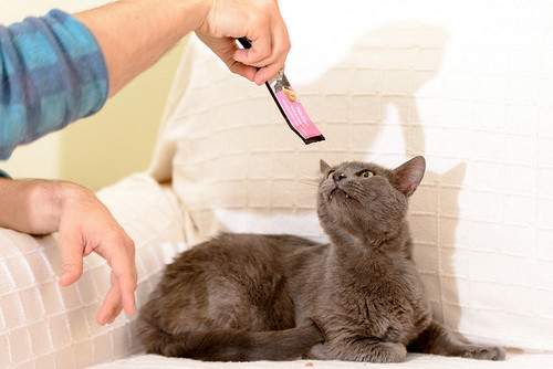 Gris, gato Cruce con Cartujo tímido y tranquilo positivo a inmunodeficiencia nacido en Agosto´15, en ADOPCIÓN ESPECIAL. Valencia. 34328222690_df03617cda