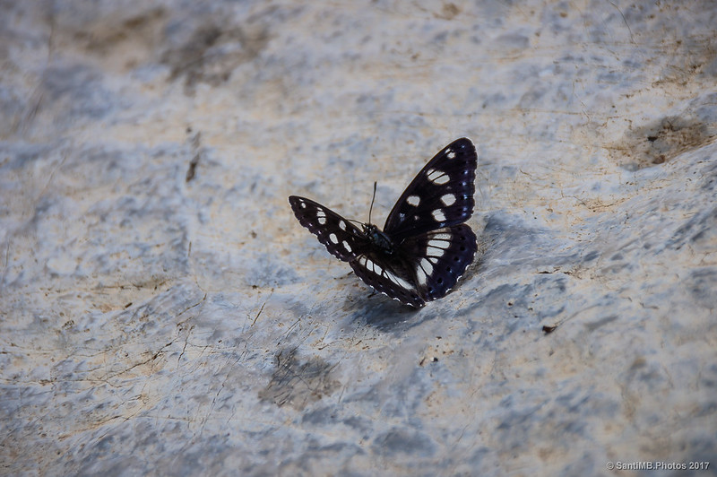 Ninfa de los arroyos (Limenitis reducta)