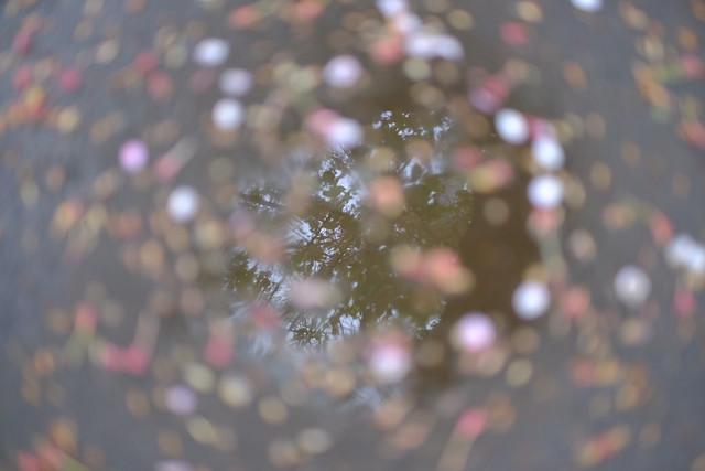 Sakura fallen (サクラチル)