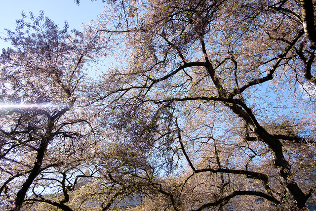 Cherry Blossoms - Seattle-8