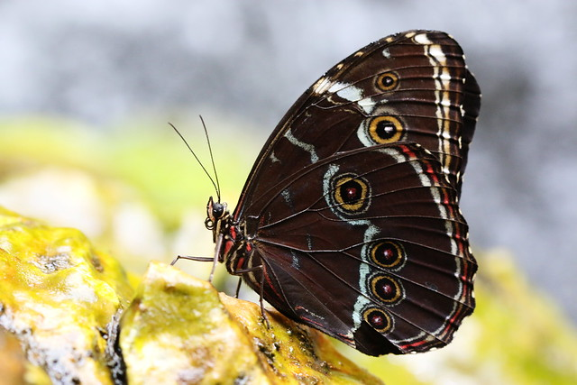 Tropical Blue Morpho (Morpho peleides) butterfly