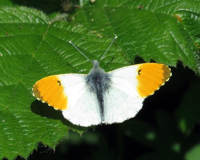 Orange-tip - Anthocharis cardamines