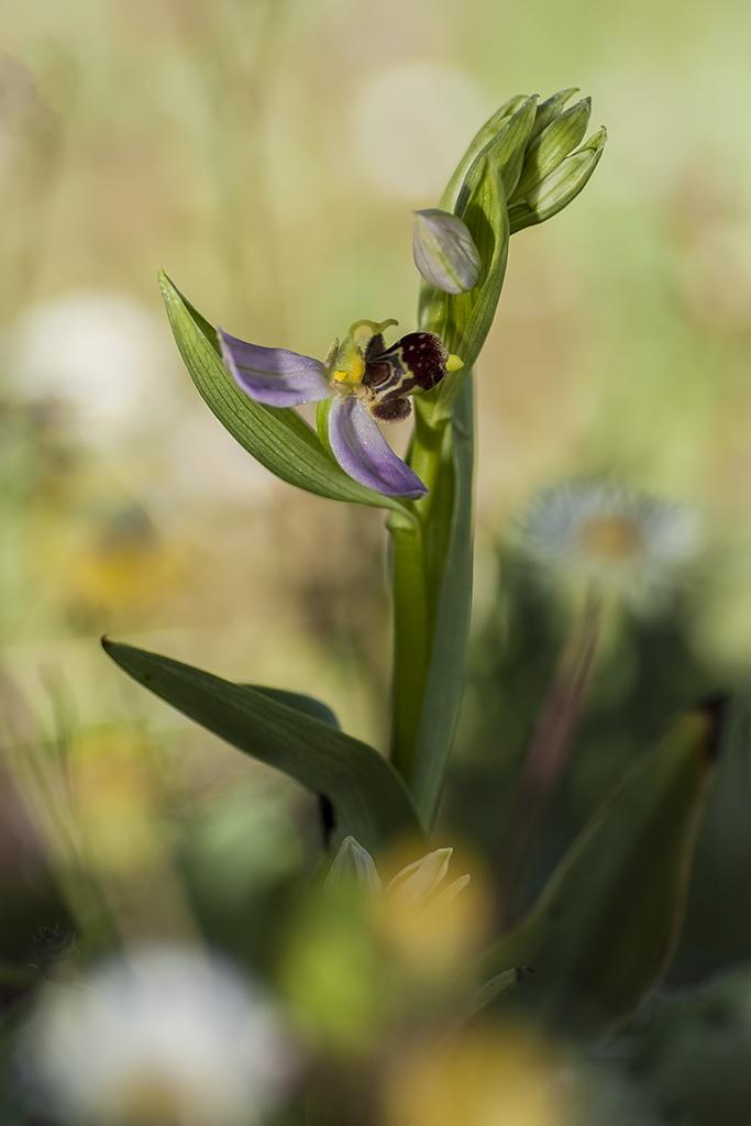 """15.- """"Ophrys Apifera."""" - japy"""