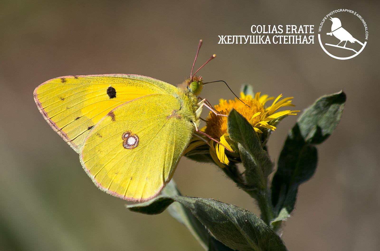 Colias erate // 20170510